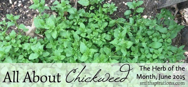 All You Need to Know about Chickweed: A Stellaria media Monograph