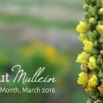 All About Mullein: The Herb of the Month for March 2016