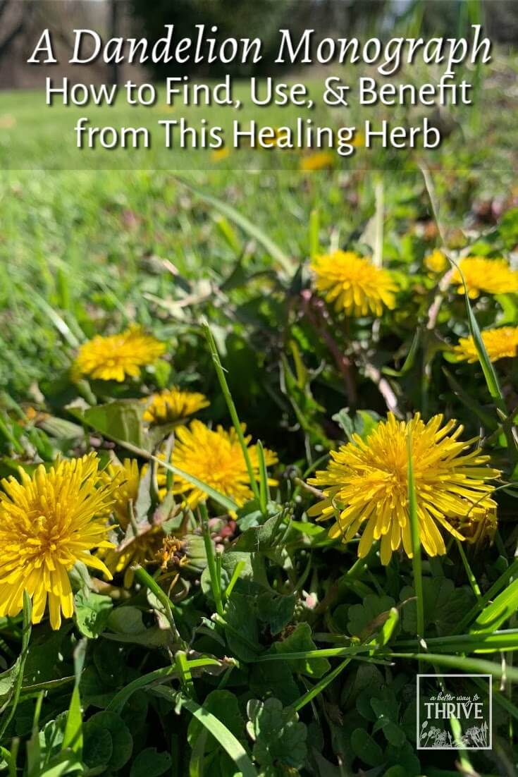 The humble dandelion is a nutritious food and medicinal herb. Did you know that the leaves, flowers, and roots are all either edible, medicinal, or both? This in-depth article will tell you all you need to know about dandelion, including how to harvest, prepare, and use all parts. Learn how to put this wonder-weed to use for better health! via @abttrway2thrive