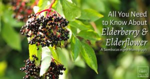 All You Need to Know About Elderberry & Elderflower: Sambucus nigra Monograph