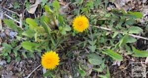 A Dandelion Monograph: How to Find, Use, & Benefit from This Healing Herb