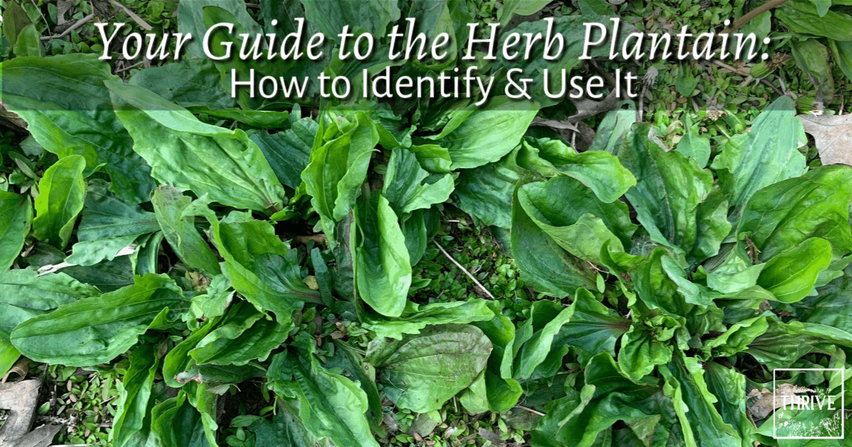 Your Guide to the Herb Plantain: How to Identify & Use It