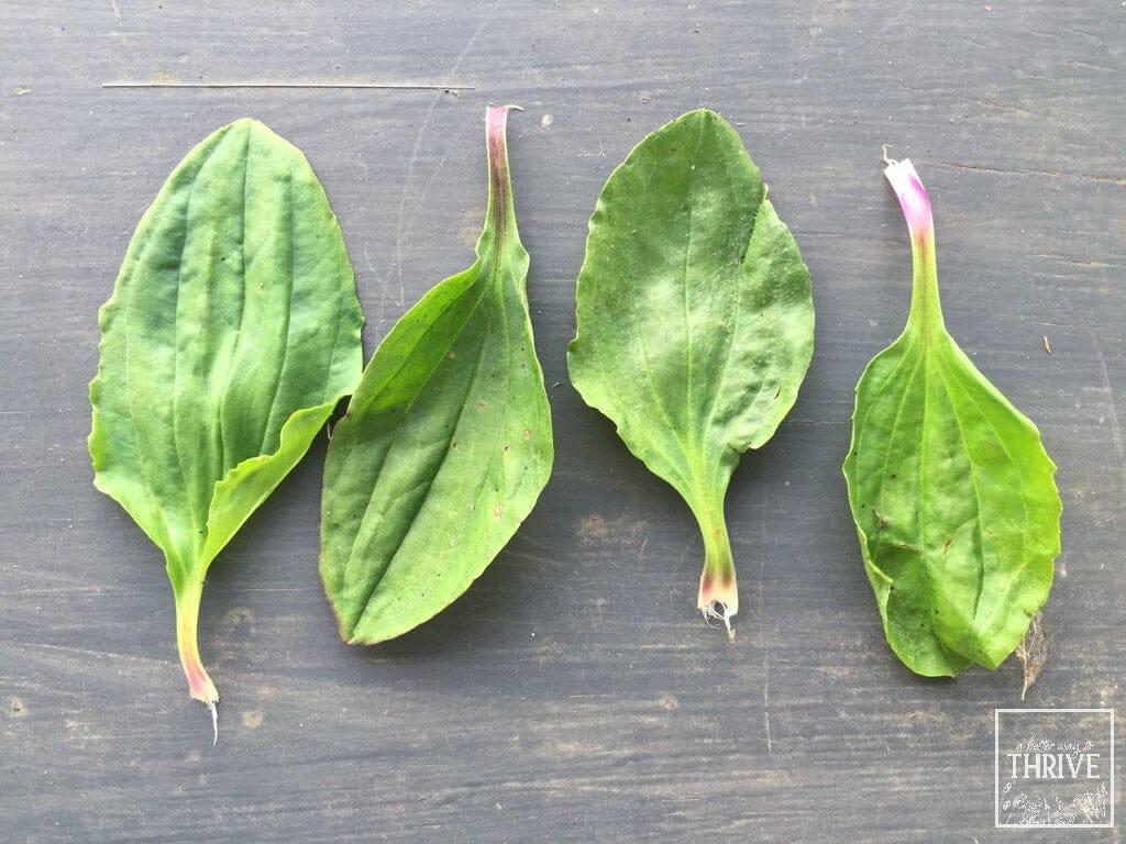 Individual plantain leaves
